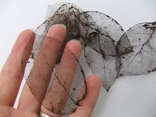 Des squelettes de feuilles.