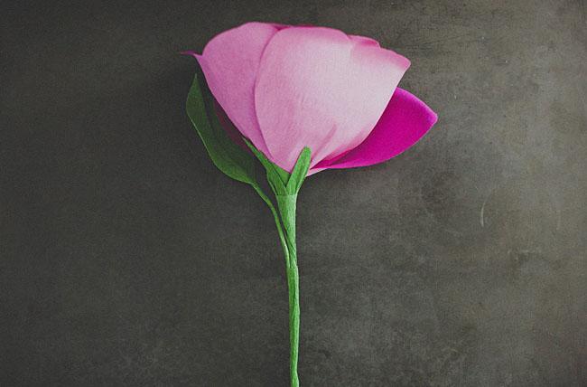 rose géante 13