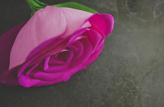 rose géante 14